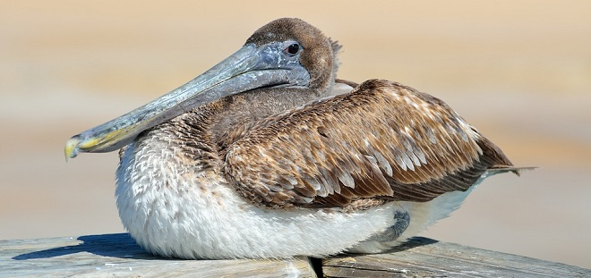 Pelikan – Krafttier, Symbolik und Bedeutung