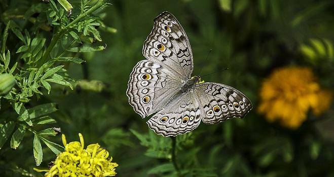 Kelebek – Ruh Hayvanı, Sembolizm ve Anlam