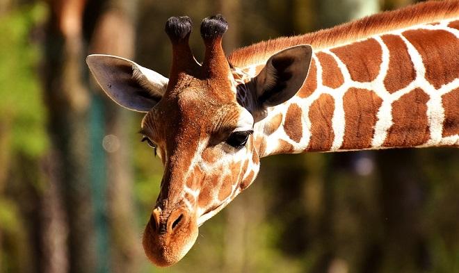 Girafa - Espírito Animal, Simbolismo e Significado
